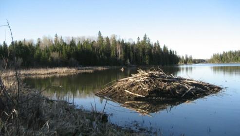 Hutte de Castor au Québec (Nicolas Debaive)